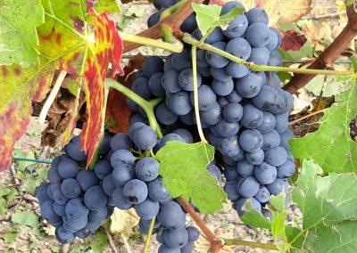 Grappe de pinot noir - Vigne effeuillée avant vendanges